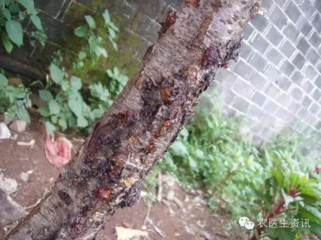 桃树流胶病的防治技术措施