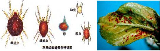 图9 苹果红蜘蛛-河北农资庄稼医院网站 河北省苹果种植技术
